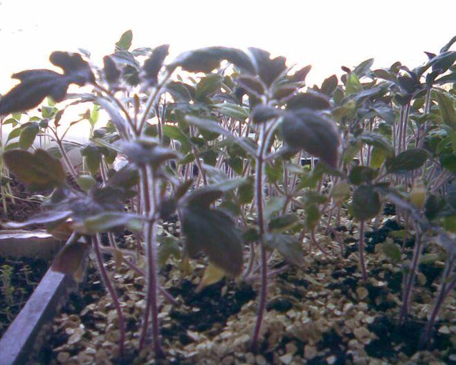 Листья у рассады томатов фиолетовые 76