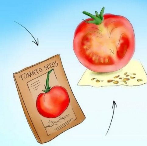 Подготовить семена помидоров к посадке на рассаду 557