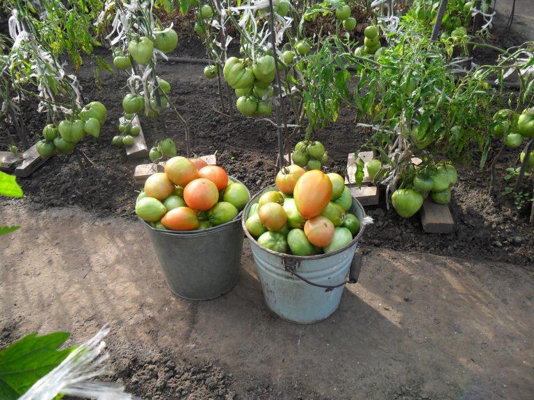 Ранние и урожайные сорта помидор