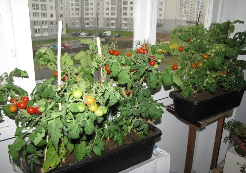 """Помидоры """"балконное чудо"""": выращивание дома."""