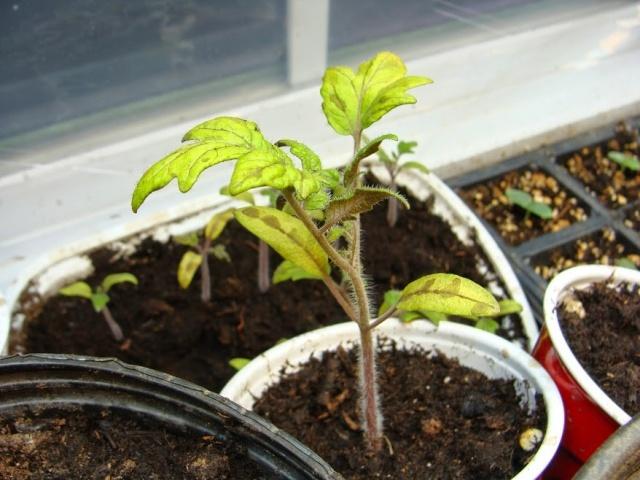 Может ли кислотность почвы повлиять на гибель рассады томатов