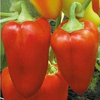 Лучшие ранние сорта сладкого перца — выбираем семена