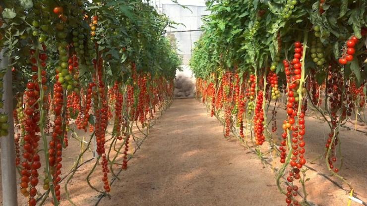 Сорта крупных и урожайных помидор черри