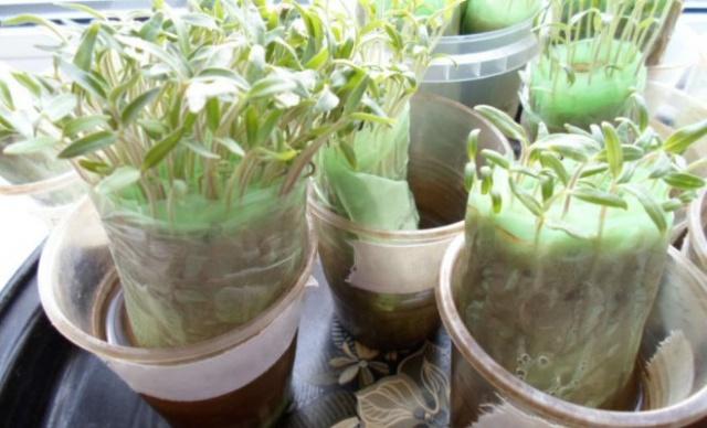 Выращиваем рассаду помидор без земли