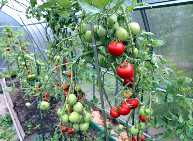 Когда можно высаживать рассаду томатов в теплицу