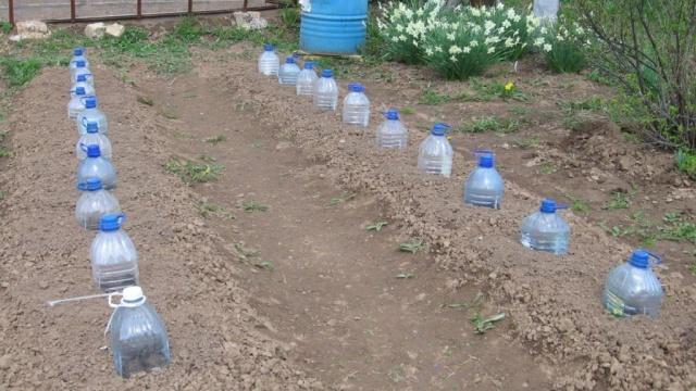 Рассада помидор выращивание в пластиковой бутылке на туалетной бумаге