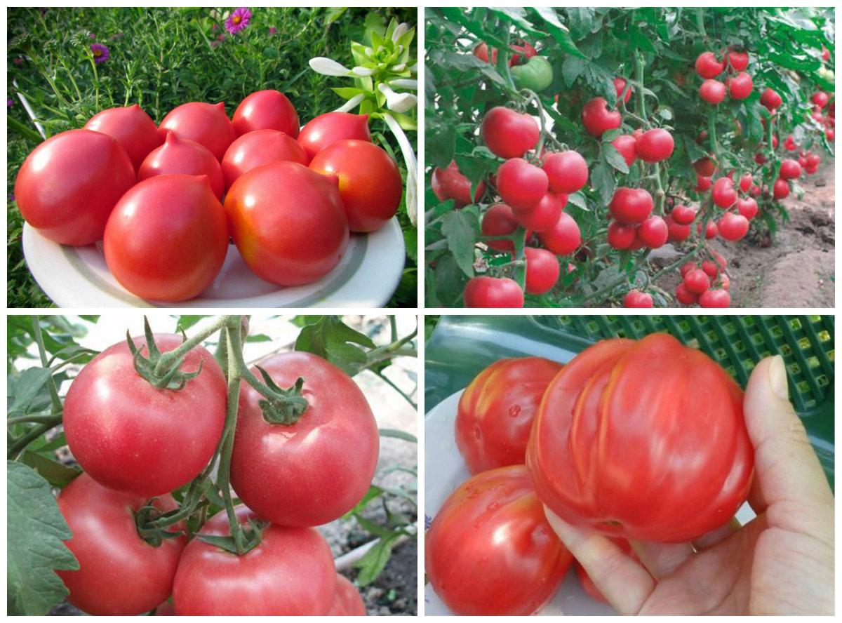 Томат Аврора: характеристика и описание сорта, его урожайность с фото