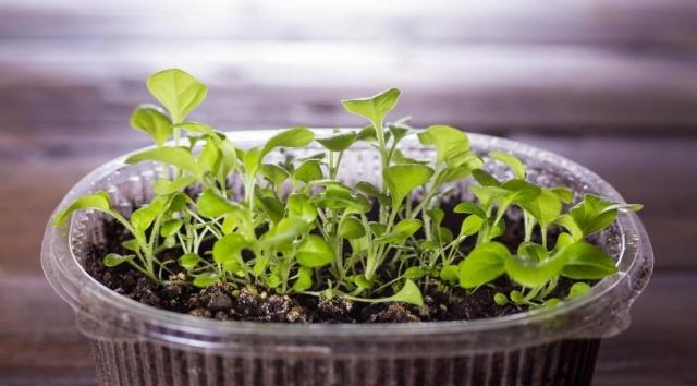 Петуния выращивание рассады для посадки в открытый грунт