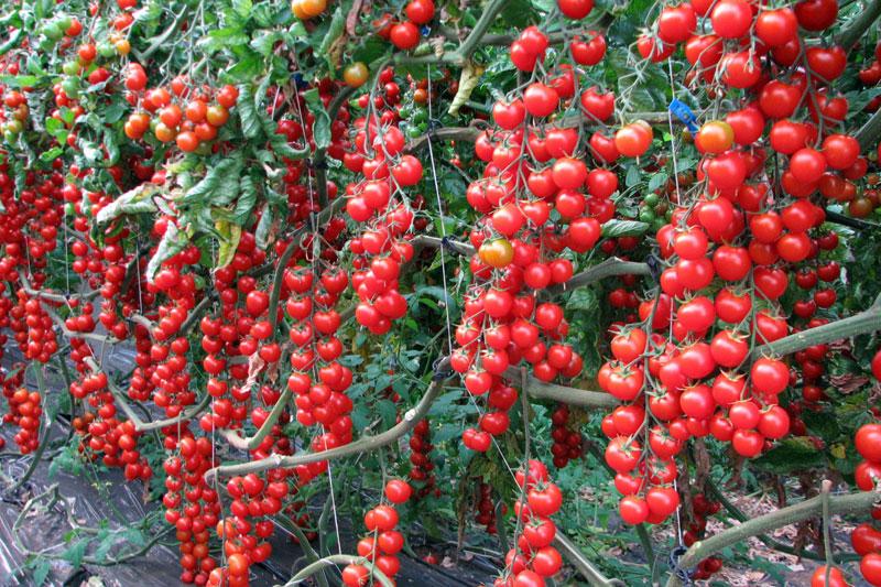 Лучшие кистевые сорта томатов для теплиц: перечень распространенных представителей
