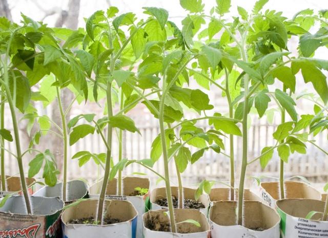 Как прорастить семена помидоров на рассаду дома: подготовка семян, как правильно поливать и прикармливать