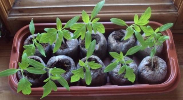 торфяные таблетки для рассады помидор