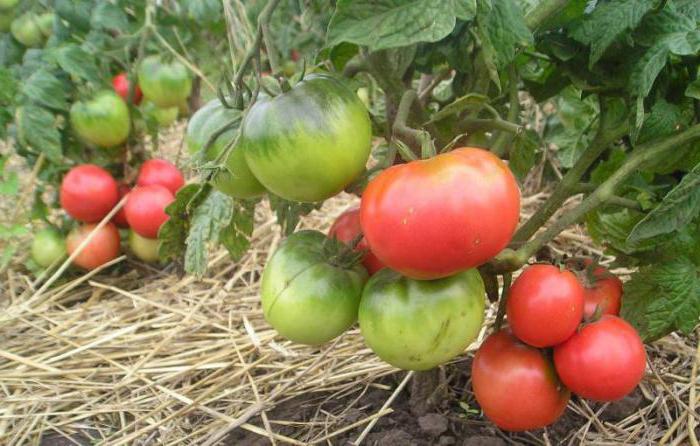 Как сажать томат монгольский карлик
