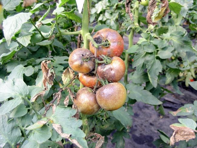 Когда опрыскивать помидоры от фитофторы
