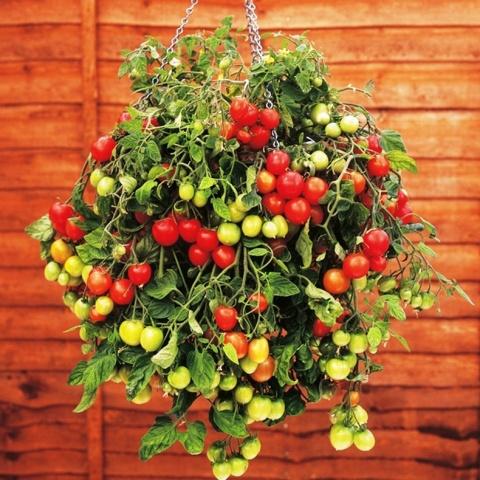 Томат Водопад описание ампельного сорта выращивание и уход с фото