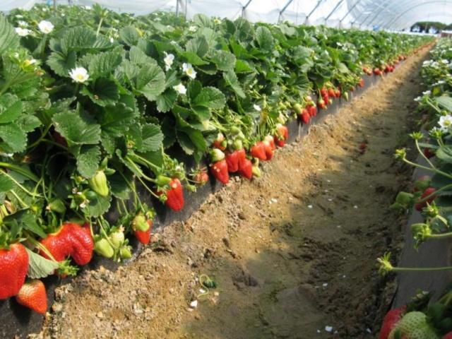 Как вырастить большой урожай клубники на даче