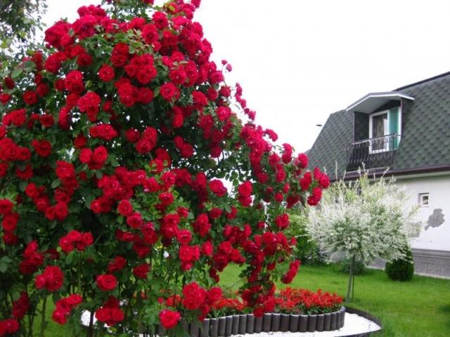 Как размножить плетистую розу черенками и отводками весной