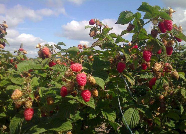 Сорт малины Патриция: описание и отзывы