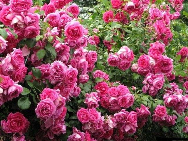 Плетистая роза сорта фото название