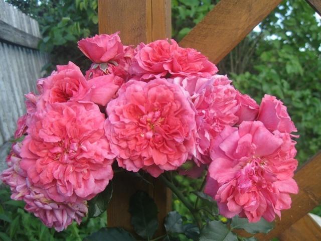 Роза Розариум Ютерсен — описание сорта, особенности ухода
