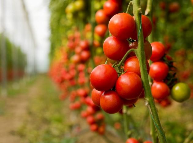 Как вырастить детерминантные томаты в теплице