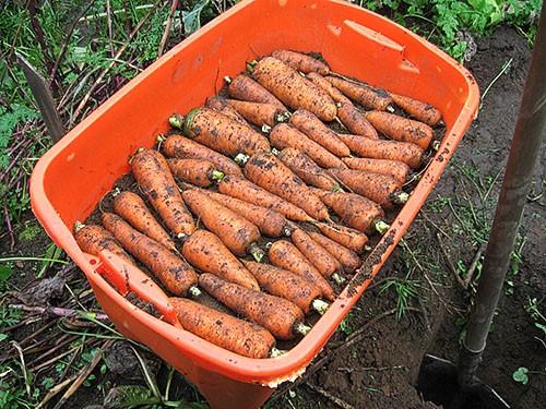 Как сохранить морковку и свеклу на зиму
