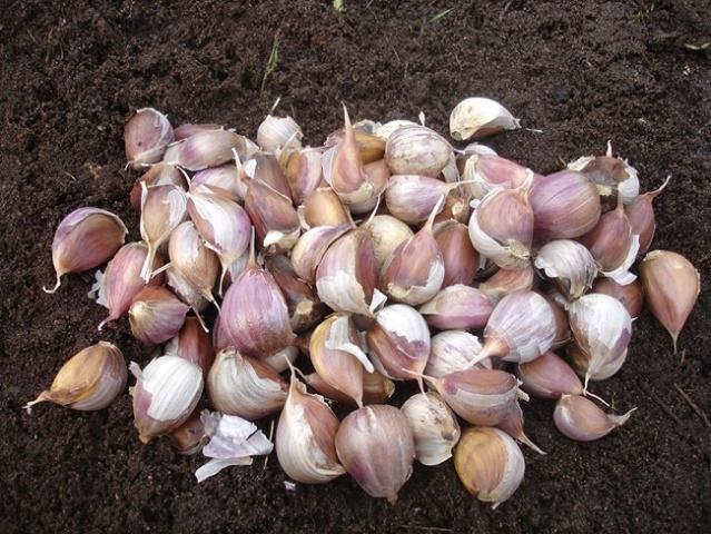 Варианты удобрений для чеснока при посадке
