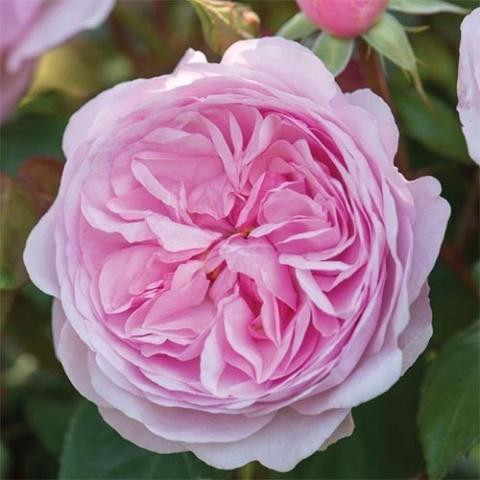 Роза Оливия Роуз Остин отзывы || Роза оливия роуз остин энциклопедия роз