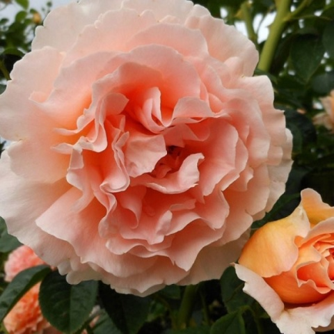 Плетистая роза Полька описание сорта и особенности віращивания