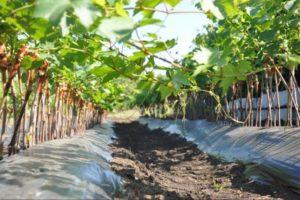 Как правильно посадить виноград осенью