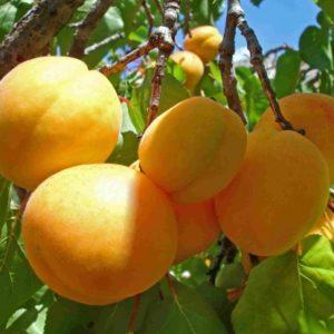 слива абрикосовая описание сорта фото