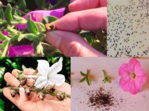Как собрать семена петунии махровой