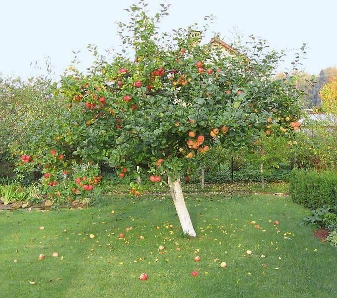 Яблоня Уэлси описание сорта и урожайность особенности выращивания и уход