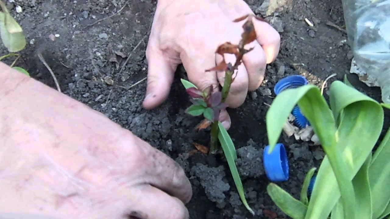 Черенкование роз осенью в открытый грунт посадка