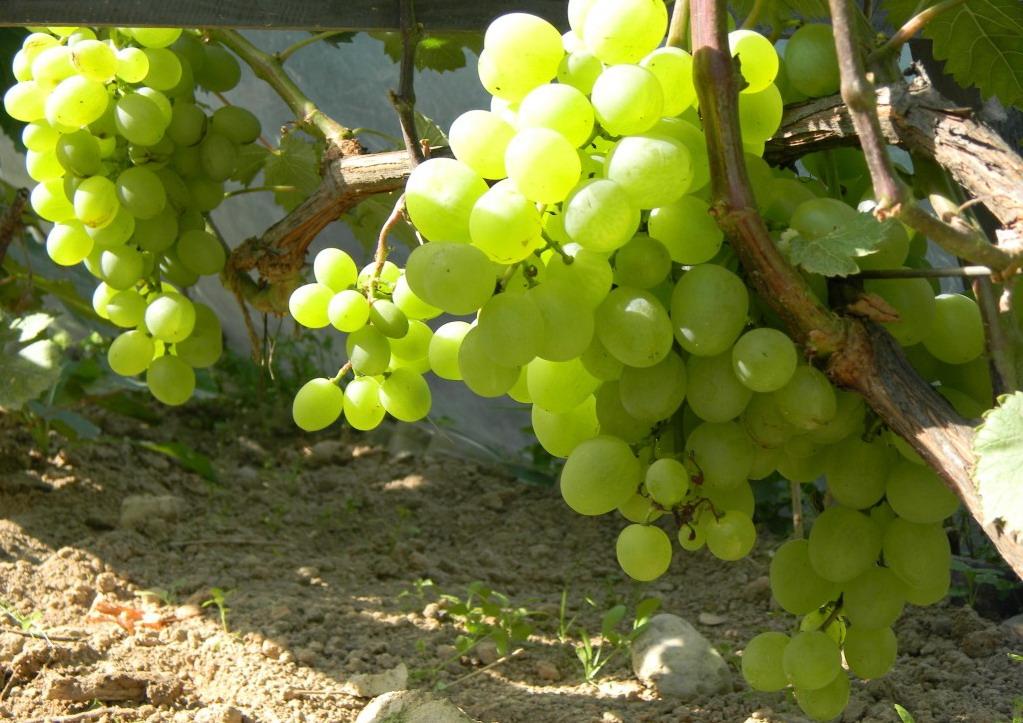 Когда обрезают виноград осенью в каком месяце