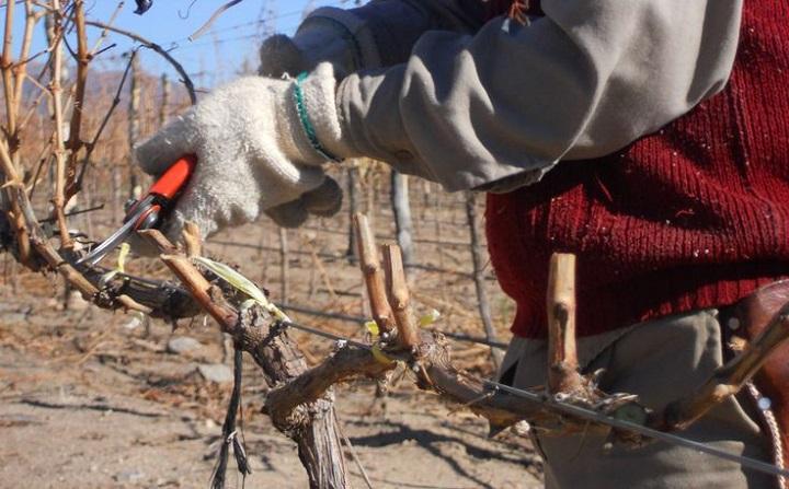Схема осенней обрезки винограда по годам