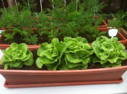 Как вырастить зелень на подоконнике зимой