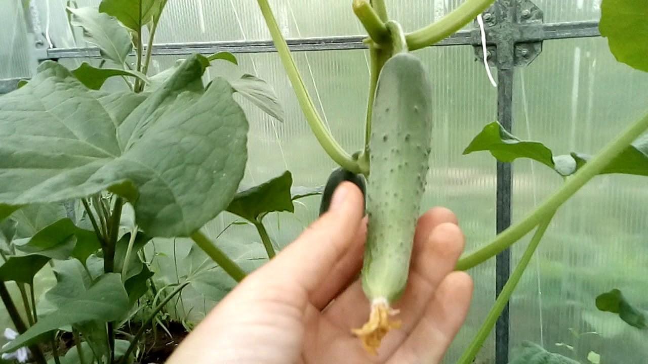 Огурцы Герман описание и характеристика сорта, выращивание и уход, отзывы, фото