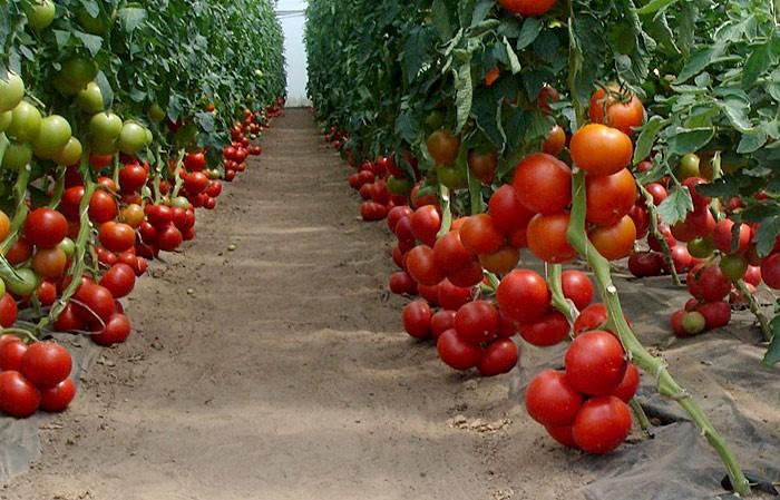 Правила агротехники для томата Бобкат