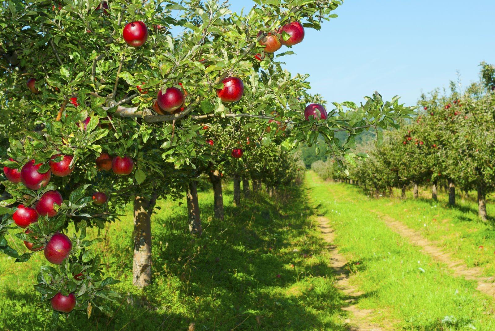 Посадка яблони саженцами осенью весной  пошаговое руководство