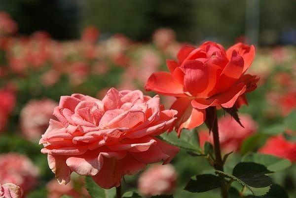 Фосфорное удобрение для роз