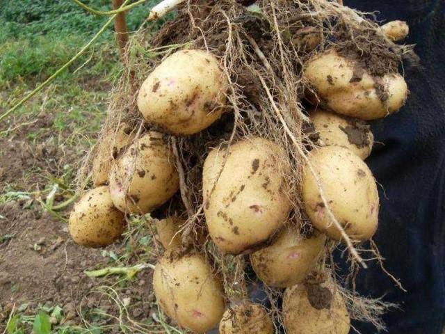 Описание и характеристика среднеспелого сорта картофеля аврора