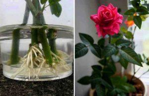 Размножение роз черенками осенью