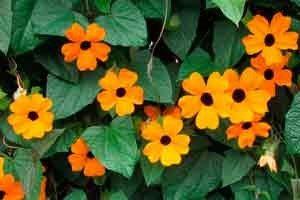 Вьющиеся однолетние цветы