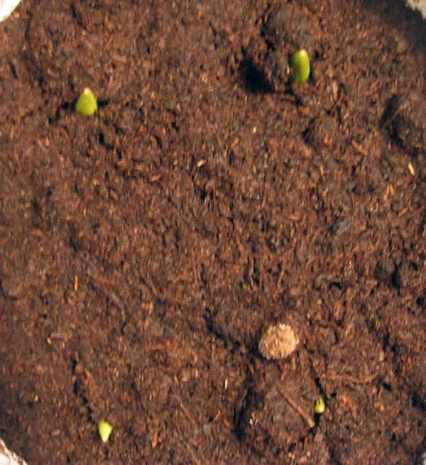 Анемона клубневая посадка и уход в открытом грунте осенью