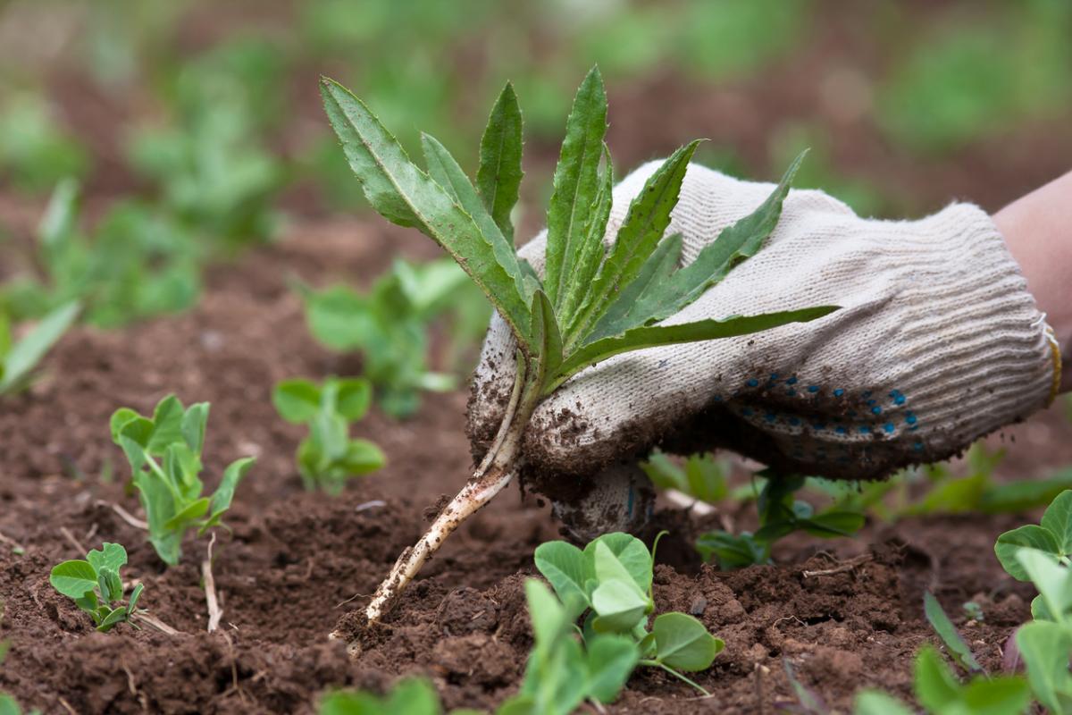 Как избавиться от осоки в огороде