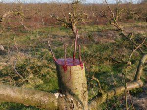 Как привить яблоню весной пошагово видео