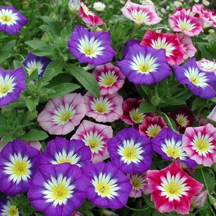 Как называется цветок вьющийся с фиолетовыми цветами