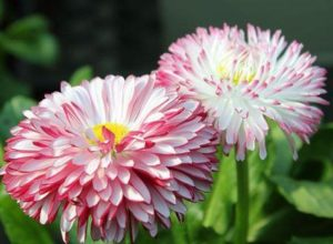 Бордюрные и низкорослые однолетние цветы: фото и названия