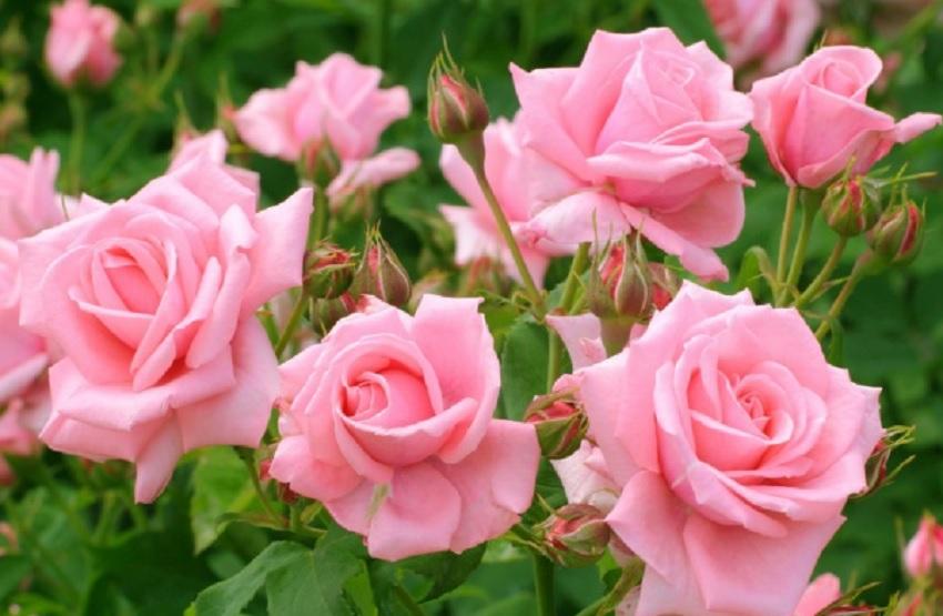 На какую глубину сажать розы осенью