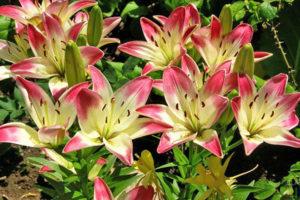 Посадка лилий осенью: когда и как посадить